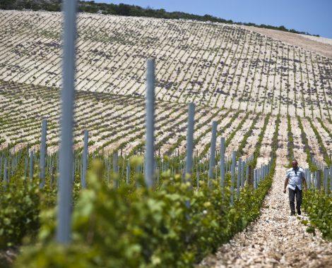 Split, 190512Vinogradi i vinski podrum tvrtke Jako vino na Bracu.Pogled na vinograd na vecoj nadmorskoj visini u blizini aerodroma.Foto: Jakov Prkic / Cropix- sd specijal -